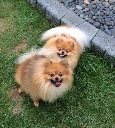 Pomeranians