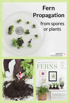 Fern propagation from spore or division is fun and easy, but you do need to know how to complete the task. These step by step instructions from The Complete Book of Ferns teach you how to make more ferns for both indoors an out. #gardening #plantpropagation Small Glass Containers, Fern Frond, Starting Seeds Indoors, Mean Green, Fern Plant, Weed Seeds, Mother Plant, Hardy Perennials, Garden Pests
