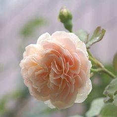 """""""Evelyn"""", #RoseGarden"""