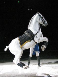 Lipizzaner airs above the ground: Levade. Pretty Horses, Beautiful Horses, Animals Beautiful, Appaloosa, Friesian, Clydesdale, Lippizaner, Lipizzan, Spanish Riding School