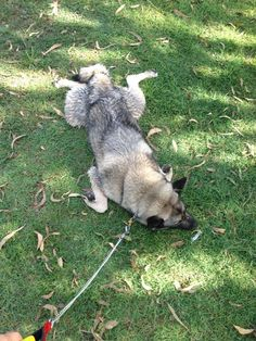 I am NOT leaving the dog park!! No! No! Never!  by David Penrose   Miami, Queensland