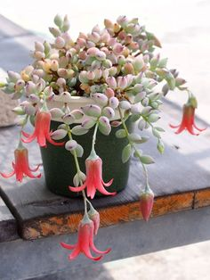 """Succulent. (""""Cotyledon pendens."""") [Pinned both to NAT-P&F-Flowers-**Pendant Flowers... & NAT-P&F-Succulents, N.O.C. (Non-cactus)....""""]"""