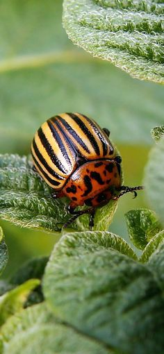 Mosquito Larvae, Cucumber Beetles, Spearmint Essential Oil, Garden Insects, Insect Pest, Backyard Vegetable Gardens, Beneficial Insects, Insect Repellent, Insects