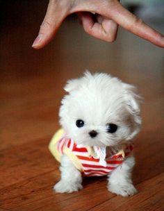 fotos de perritos miniatura [fotogaleria] | ActitudFEM