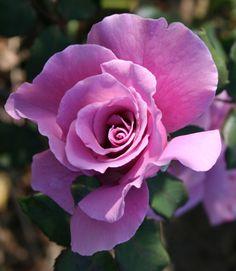 "Rosa  ""Lavande"""