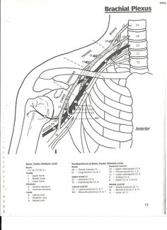 Hand Therapy, Massage Therapy, Occupational Therapy, Physical Therapy, Nervous System Anatomy, Shoulder Anatomy, Sports Therapy, Sensory Issues, Muscle Anatomy