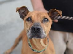 Brooklyn Center SUNSET – A1041410 FEMALE, BROWN / BLACK, AMERICAN STAFF MIX, 5 yrs STRAY – STRAY WAIT, NO HOLD Reason STRAY Intake condition UNSPECIFIED Intake Date 06/25/2015