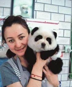 Chow dog dyed as a panda!  :D