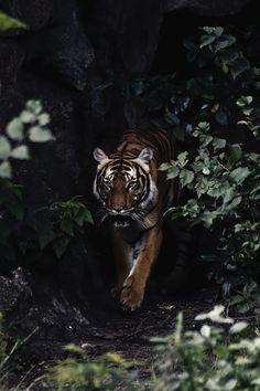 Nature Photography Tips For Sharper Photos – PhotoTakes Beautiful Cats, Animals Beautiful, Cute Animals, Wildlife Photography, Animal Photography, Animal Wallpaper, Tiger Wallpaper Iphone, Spirit Animal, Big Cats