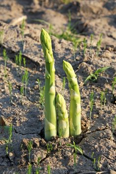 Asparagus: How to Grow in the Home Garden. When to plant asparagus. How to harvest asparagus. Tips for growing asparagus Edible Garden, Lawn And Garden, Vegetable Garden, Garden Plants, Spring Garden, When To Plant Asparagus, Grow Asparagus, Asparagus Spears, Growing Herbs