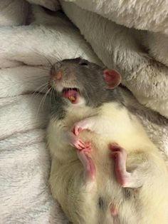 Laughing Rat