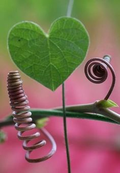 ♥ heart shaped leaf and curly vines!