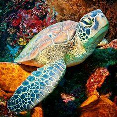 Cute Turtles, Baby Turtles, Sea Turtles, Sea Turtle Pictures, Regard Animal, Animals Beautiful, Cute Animals, Kawaii Turtle, Fauna Marina