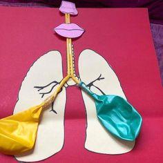 Respiratory system -working model -science project -b. Body Preschool, Preschool Science, Science Activities, Kindness Activities, Movement Activities, Human Body Crafts, Human Body Activities, Science Projects For Kids, Science For Kids