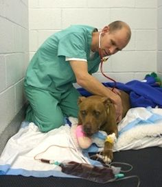 A truly altruistic animal, Lilly positioned herself between her unconscious owner and an oncoming train so her owner wouldn't get hurt. The pit bull's plan worked; her owner was unharmed. Lilly, who was hit by the train, was not so fortunate. The  dog's front leg required amputation and her pelvis had to be rebuilt. After extensive surgery, doctors believe the brave canine should make a full recovery and will be able to walk again soon. Credit: MSPCA-Angell