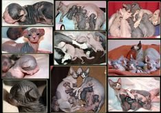 sphynx cattery