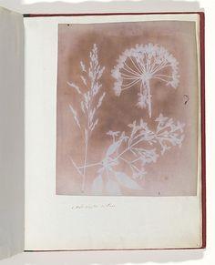 William Henry Fox Talbot  (British, 1800–1877), 1. Aglio. 2. Cestro. 3. Poa., 1839, Photogenic drawing, 20.9 x 16.8 cm (8 1/4 x 6 5/8 in), irregularly trimmed