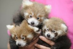 Knoxville Zoo red pandas Dolly, Winston and Bernadette as cubs, 2011
