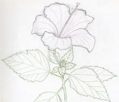 How to draw a Hibiscus flower.  Instructions.
