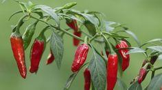 Chilipflanzen können Sie einfach auf der Fensterbank oder im eigenen Garten anpflanzen (Quelle: imago/ARCO IMAGES)