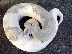 Pastel Grey Matter - Morph List - World of Ball Pythons Pretty Snakes, Cool Snakes, Beautiful Snakes, Cute Reptiles, Reptiles And Amphibians, Beautiful Creatures, Animals Beautiful, Dream Snake, Types Of Snake