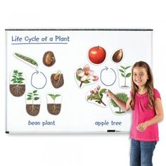 These detailed jumbo magnets bring plant life cycle demonstration to life.