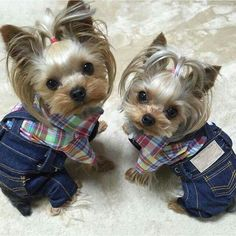 OMG!!! I AM DYING RIGHT KNOW THIS IS SO CUTE!!!! TWO LITTLE TINY YORKIES DRESSED FOR THE FARM!!!!!!!!!!!!