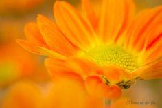 Autumn Aster by Corinna van der Ven