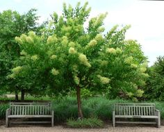 Syringa reticulata- Japanese Tree Lilac Zone 4 Height and spread 20ft