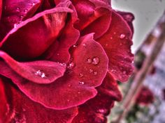 rose after rain by nina ficur feenan on 500px