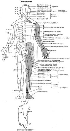 Understand Neurological Examination of the Lower Limbs. Read specific information about Neurological Examination of the Lower Limbs. Brain Anatomy, Anatomy And Physiology, Body Anatomy, Pta Programs, Cauda Equina Syndrome, Neurological System, Medicine Notes, Psoas Release, Spine Health