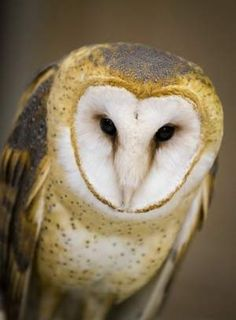 Amish helped bring back the Barn Owl in Ohio!