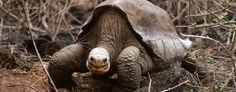 The late Galápagos tortoise 'Lonesome George' may have company (Corbis)