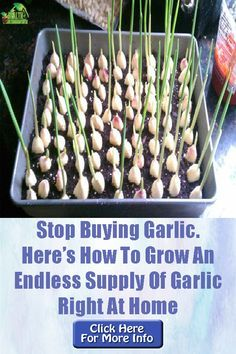 Garden types Even if we put aside all the health benefits that garlic offers . - Garden types Even if we put aside all the health benefits that garlic offers, who … # - Backyard Vegetable Gardens, Veg Garden, Edible Garden, Lawn And Garden, Vegetables Garden, Summer Garden, Summer Plants, Indoor Garden, Garden Bed