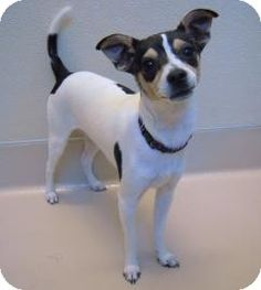 Aubrey - Rat Terrier Mix