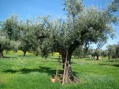 le marche orgain food italy - olive oil workshop