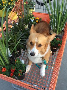 """sarcasmfish: """"Personal shopper corgi will help you pick out things for your garden but fall asleep half way through. """""""