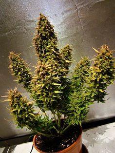 How to Grow Autoflowering Pot Plants | StonerThings