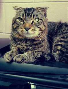 Meet Django 22732, a Petfinder adoptable Scottish Fold Cat | Prattville, AL | Meet Django, the shelter's first ever Scottish Fold! He is a two-year old tabby, and has a quirky...