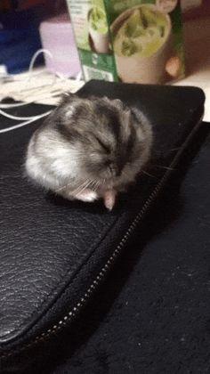 Schlafender Hamster rollt aus dem Bild on http://www.drlima.net