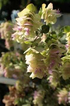 Origanum rotundifolium 'Kent Beauty' - Ornamental Oregano
