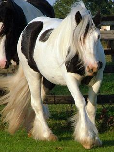 Orcas Island Feathered Horses: Friesians & Gypsy Horses