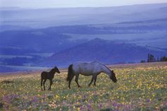 Mustang Wild Horse Mare with Young Colt Feed Valokuvavedos AllPosters.fi-sivustossa