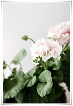Pink geraniums for a wedding. Very charming.