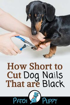 Clipping black dog nails requires special diligence and some extra know how. How to find the quick on black dog nails + a video demonstration of the process Clipping Dog Nails, Trimming Dog Nails, Cat Care Tips, Dog Care, Pet Tips, Dog Toenails, Dog Grooming Tips, Dog Agility