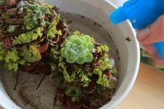 succulent pinecone craft idea