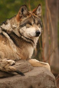 Gray wolf(Canis lupus) on rock. Beautiful Wolves, Animals Beautiful, Cute Animals, Wolf Photos, Wolf Pictures, Wolf Spirit, Spirit Animal, Malamute, Wolf World
