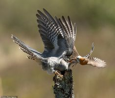 With wings raised the cuckoo attempts to fight off its small foe as it remains balanced on. Red Robin, Robin Bird, Dramatic Photos, Small Birds, Birds Of Prey, Robins, Image Shows, Bird Art, Paint Ideas