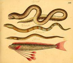 Friedrich Strack | Naturgeschichte in Bildern (1819-1826)