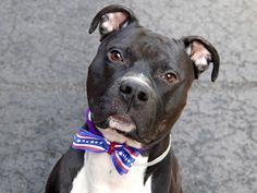 GONE Manhattan Center My name is ONYX. My Animal ID # is I am a male black and white am pit bull ter mix. The shelter thinks I am. Shelter Dogs, Animal Shelter, Puppy Mills, Pet Life, Rainbow Bridge, Humane Society, Pet Adoption, Pitbulls, Dog Cat